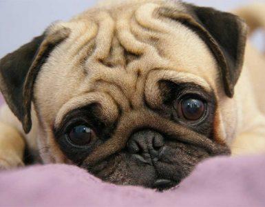 породи кучета за апартамент