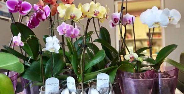 цветя Орхидеи